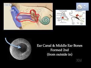 Ear Canal and Middle Ear Bones